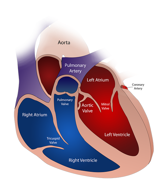 Mięsień sercowy